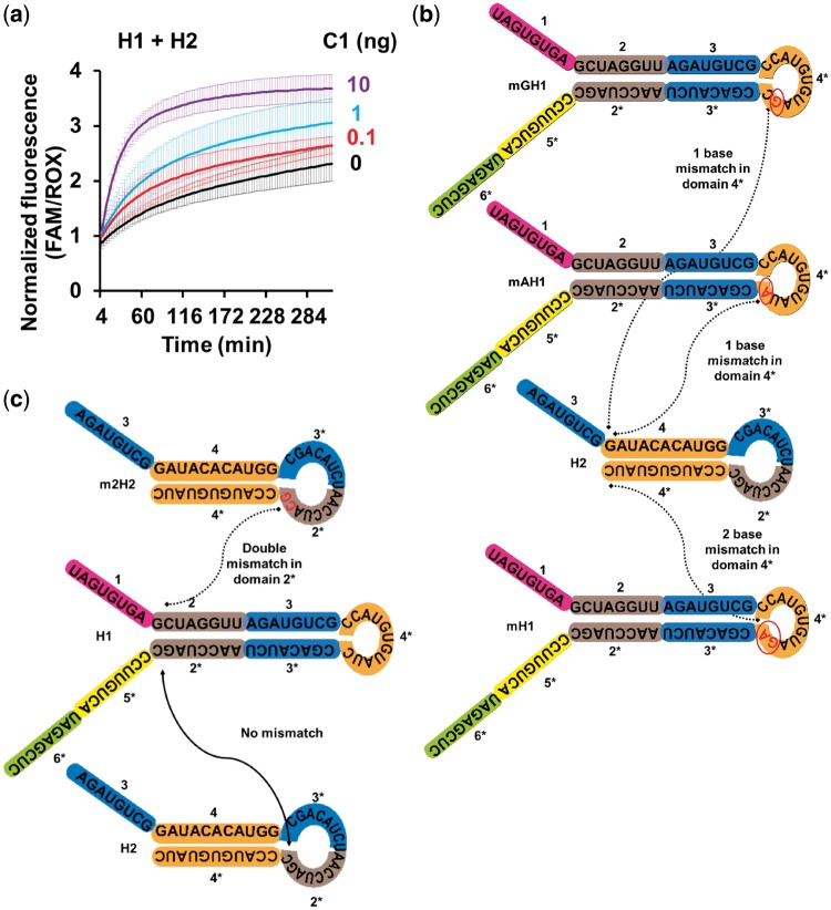 Cotranscriptional RNA CHA and circuit design optimization for cotranscription. ( a ) Cotranscribed RNA circuit components undergo catalyzed hairpin assembly without requiring gel purification of individual reactants. Fifty nanograms each of H1 and H2 transcription templates, along with titrating amounts of C1 transcription template, was cotranscribed for 1 h at 42°C using T7 RNA polymerase followed by passage through Illustra MicroSpin Sephadex G25 columns. Transcription templates were amplified from cloned inserts using primers pCR2.1.F and pCR2.1.R specific to plasmid sequences flanking the inserts. Two microliter aliquots of the cotranscribed RNA mixtures were then incubated in 15 µl of volume with 400 nM RepF annealed with 5× excess (2 µM) RepQ fluorescent DNA reporter duplex in 1× TNaK buffer containing 20 U of RNaseOUT and 0.5 µM ROX reference dye to quantitate formation of H1:H2 RNA duplexes at 52°C. Average data from triplicate experiments are represented. ( b and c ) Schematic depicting sequences of RNA hairpins H1 and H2 with one- or two-base engineered mismatches. Mismatched H1 (mH1) presents a two-base mismatch between its domain 4* and domain 4 of H2. The hairpins mAH1 and mGH1 each contain a single mismatched base between their domain 4* and the domain 4 of H2. The mutated H2 hairpin m2H2 presents two mismatched bases between its domain 2* and the H1 domain 2.
