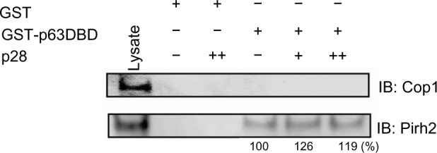 Competitive immunoprecipitation assay for Cop1 and Pirh2. Notes: GST-p63 DBD and GST alone were immobilized on glutathione-Sepharose 4B beads and incubated in absence (−) or presence of p28 (+: 10, ++: 100 mole excess), followed by addition of MCF-7 lysates containing Cop1 and Pirh2. Samples were separated by SDS-PAGE and immunoblotted with either anti-Cop1 or anti-Pirh2 antibodies. Lysate: whole-cell lysates of MCF-7 used in assay stably expressed Cop1 and Pirh2. Numbers below Pirh2 bands are the relative percentage to the level of Pirh2 bound to p63 DBD in the absence of p28. Abbreviations: DBD, DNA-binding domain; GST, glutathione S-transferase; SDS-PAGE, sodium dodecyl sulfate polyacrylamide gel electrophoresis; IB, immunoblotting.