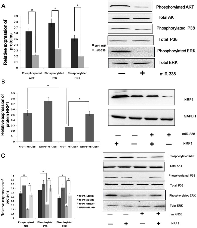 miR-338 up-regulates the phosphorylation of ERK1/2, P38 MAPK and Akt via NRP1. (A)The phosphorylation and total expression levels of ERK1/2, Akt and P38MAPK in AGS cells infected with LV-hsa-mir-338 or cont-miR. (B) An immunoblot analysis of NRP1 expression in AGS cells infected with LV-hsa-mir-338 or cont-miR, with or without NRP1 restoration. (C) The phosphorylation and total expression levels of ERK1/2, Akt and P38MAPK in AGS cells infected with LV-hsa-mir-338 or cont-miR, with or without NRP1 restoration. The expression levels of the phosphorylated proteins were normalized to those of the respective total proteins. The data represent the means±s.d.; *p