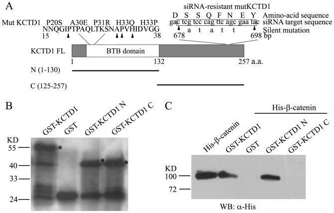 Identification of β-catenin binding domain in KCTD1. (A) Schematic representation of KCTD1 domains, deletion and mutant constructs used for pull-down analysis and luciferase assays. And the five silent mutations in the siRNA-target sequence of wild-type KCTD1 cDNA were shown, the resulting protein mutKCTD1 confers resistance to the siRNA and no change in the amino acid sequence compared with the wild-type. (B) The full-length and truncated proteins of GST-KCTD1 were bacterially expressed, purified and detected with Western blots using mouse monoclonal anti-GST antibodies. (C) GST pull-down experiments were performed with GST, GST fusion proteins above and His-β-catenin recombinant proteins analyzed by immunoblots with mouse monoclonal antibodies against His-tag.