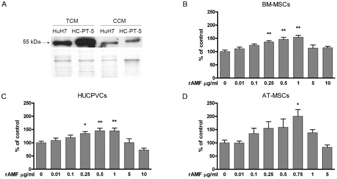 AMF potently stimulates in vitro chemotaxis of MSCs from different sources. A) Detection of AMF (55 kDa) by western blot in CCM derived from HCC cells and TCM from ex vivo HCC SC tumors (upper panel). Colloidal Coomassie staining was performed as loading control (lower panel). MSC migration was analyzed with a Boyden chamber assay using rAMF as chemoattractant for BM-MSCs (B), HUCPVCs (C) or AT-MSCs (D). Results were expressed as percentage of control (DMEM) ±SEM. *p