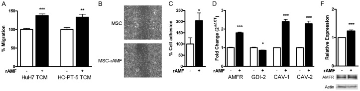 rAMF increases the in vitro chemotaxis of MSCs towards HCC and their adhesion to endothelial cells. A) Pretreatment of BM-MSCs with 1 µg/ml rAMF (black bars) increases chemotaxis towards TCM derived from HuH7 or HC-PT-5 cells compared to untreated cells (white bars). B) Wound-healing assay of MSCs after pretreatment with rAMF or control (DMEM). Representative images were taken 24 hours after scratching. C) Adhesion to HMEC-1 endothelial cells was increased in BM-MSCs exposed to rAMF. D) Expression of AMF receptor (AMFR), GDP dissociation inhibitor 2 (GDI-1), caveolin-1 (CAV-1) and caveolin-2 (CAV-2) by qRT-PCR. *p