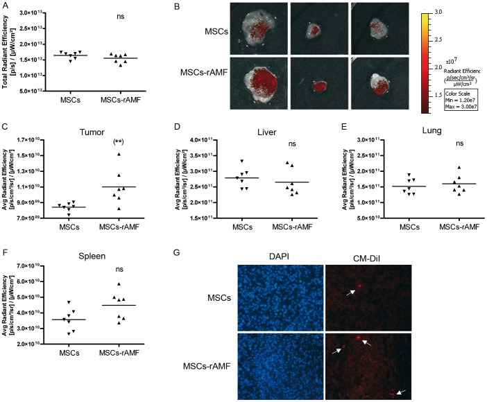 rAMF increases the in vivo migration and anchorage of MSCs to HCC tumors. BM-MSCs prestimulated with 1 µg/ml of rAMF were labeled with DiR and CMDiI cell trackers and IV injected in SC HuH7 tumor-bearing mice. After 3 days, tumors were removed and exposed to FI. A) Total FI was calculated by measuring the region of interest (ROI) for all the tissues isolated and the results were expressed as total radiant efficiency. ns, non significant. B) Representative tumor images of mice inoculated with rAMF-prestimulated BM-MSCs (MSC-rAMF) or unstimulated cells (MSCs). Images represent the average radiant efficiency. Region of interest (ROI) was calculated for the isolated tumor (C), liver (D), lung (E) and spleen (F) and the results were expressed as the average radiant efficiency. **p