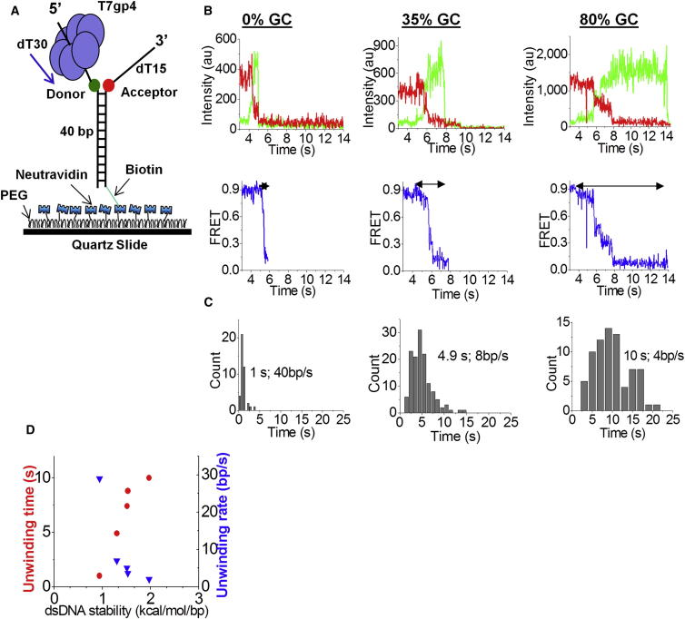The Unwinding Rate of T7 Helicase Depends on Base Pair Stability (A) T7 gp4 was loaded on a 40 bp DNA with (dT)n tails containing donor (Cy3) and acceptor (Cy5) dyes, and bound to a PEG-coated surface via biotin-neutravidin interaction. (B) Cy3 and Cy5 intensity traces during unwinding for one molecule on mixed, 100% AT, and 80% GC sequences (top panel); calculated FRET efficiency versus time for the fluorescence intensity traces (bottom panel). (C) Dwell-time histograms during unwinding. The arrows on the FRET traces indicate the intervals at which the dwell times were measured; 50 molecules were used to build the histograms. The data are representative of multiple experiments. (D) Unwinding time (red circles) and rate (blue triangles) versus base pair stability. Five sequences were used to plot the graph ( Table S1 ). See also Figure S1 .