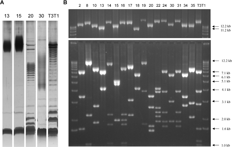 Visualisation of LPS and <t>PCR</t> investigation of potential OAg loci in H. parainfluenzae . (A) Proteinase K treated H. parainfluenzae cell lysates were fractionated by tricine SDS-PAGE and silver-stained. Strain numbers are listed above each lane. The intense low molecular mass band in each lane is LPS that does not contain OAg (LPS core only), whilst the ladders/smears of bands represent LPS elaborated with OAg of increasing chain length. Band spacing depends on the size of the O-unit. 12.5 μl of lysate at OD 260 = 5 (strains 13 and 15) or OD 260 = 10 (strains 20, 30 and T3T1) was loaded. Weaker OAg-like banding patterns were observed for strains 2, 8, 10, 14, 16, 17, 18 and Hy6. (B) Long range PCR products were obtained using primers to glnA and pepB , which flank the OAg locus. The outside lanes contain a DNA ladder with sizes as indicated. Numbers above each lane indicate the H. parainfluenzae strain of the template gDNA. Top panel: 0.4 μl of each PCR reaction separated by agarose gel electrophoresis. Products of a high molecular mass are visible for all 18 true H. parainfluenzae strains; hybrid strains Hy6 and Hy11 did not yield products and are not shown. Lower panel: <t>MfeI</t> restriction digests of the same long range PCR products, with fragments > 1 kb visible.