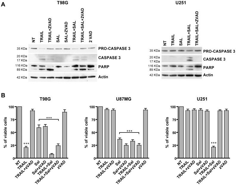 Mechanism of cell death induced by salinomycin+TRAIL. (A) Western blot analysis of cellular extracts derived from T98G and U251 cells incubated for 24 h either in the absence (NT) or in the presence of either salinomycin 10 µM, TRAIL (50 ng/ml) or salinomycin+TRAIL (at the above concentrations) or salinomycin+TRAIL+the caspase inhibitor zVADfmk (40 µM). The cell extracts were first run on SDS-PAGE, transferred to nitrocellulose membranes and blotted with either anti-human caspase-3, anti-human PARP or anti beta-actin. One representative experiment out of three performed is shown. (B) T98G, U87MG and U251 cells have been grown for 24 h in the different experimental conditions reported in the figure and then analysed for cell vitality. The proportion of viable cells is reported (mean values ± SEM observed in three separate experiments). *** different from control (NT) at significance level p
