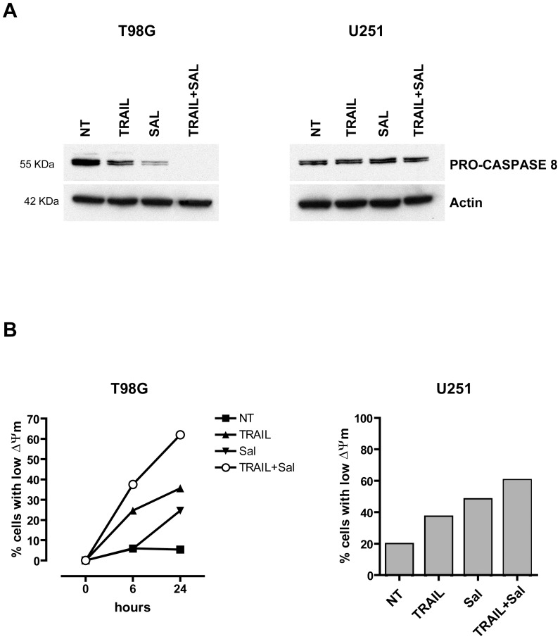 Effect of salinomycin and TRAIL added alone or in combination on caspase-8 activation and mitochondrial function. (A) Western blot analysis of cellular extracts derived from T98G and U251 cells incubated for 8 h and 24 h respectively, either in the absence (NT) or in the presence of salinomycin (10 µM), TRAIL (50 ng/ml) or salinomycin+TRAIL (at the above concentrations). The cell extracts were first run on SDS-PAGE, transferred to nitrocellulose membranes and blotted with either anti-human caspase-8 or anti beta-actin. One representative experiment out of three performed is shown. (B) Analysis of the mitochondrial membrane potential (Ψm) in T98G and U251 cells grown in the various conditions reported in the figure for 8 h and 24 h (T98G) or 48 h (U251). The proportion of cells exhibiting low Ψm is reported.