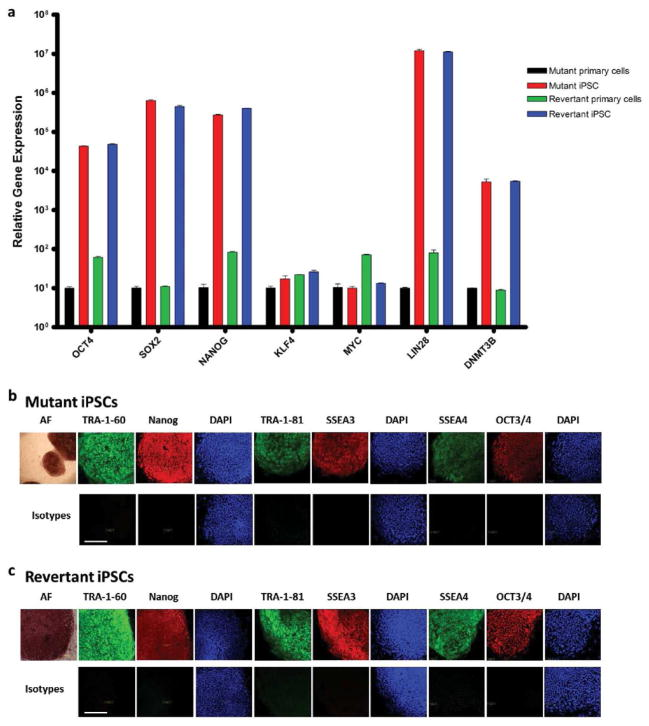 Revertant iPSCs from RDEB skin (a) Persistent mRNA expression of OCT4, <t>SOX2</t> , NANOG , LIN28 , and DNMT3b , and transient mRNA expression of c-MYC and KLF4 , both consistent with fully reprogrammed mutant and revertant iPSCs. (b) Protein expression in mutant iPSCs of embryonic stem cell surface markers TRA-1-60, TRA-1-81, SSEA3, SSEA4, alkaline phosphatase (AF), and transcription factors Nanog and OCT3/4. (c) Same embryonic stem cell protein expression panel in revertant iPSCs. Nuclei are stained with DAPI (blue). Lower panels show corresponding isotype controls. Scale bar = 50 μm.