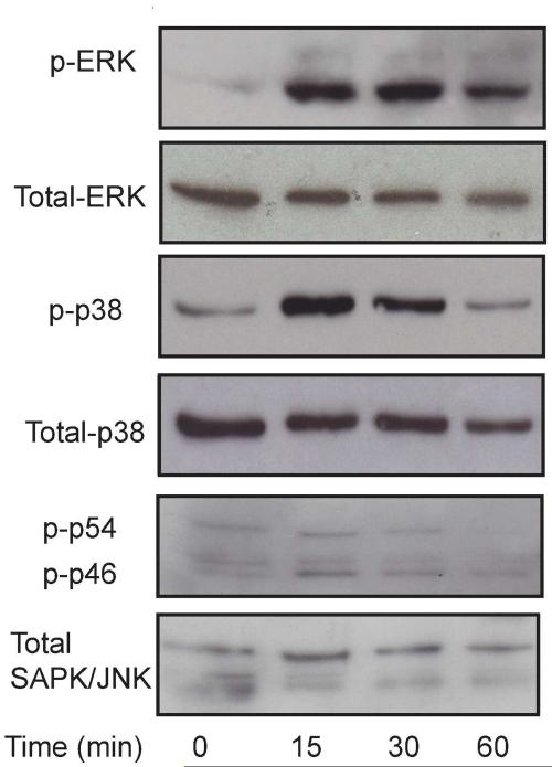 Keratinocyte ligation to fibrillar type I collagen induced phosphorylation of ERK and <t>p38</t> <t>MAPK</t> but not JNK Primary keratinocytes were plated on fibrillar type I collagen, and cell lysates were harvested at the designated time points. The 0-min cells were keratinocytes sampled before plating on collagen. Phosphorylated (p-) and total ERK, p38, and JNK were visualized by immunoblot using specific antibodies. Results are representative of three independent experiments with keratinocytes from 3 different batches of cells.