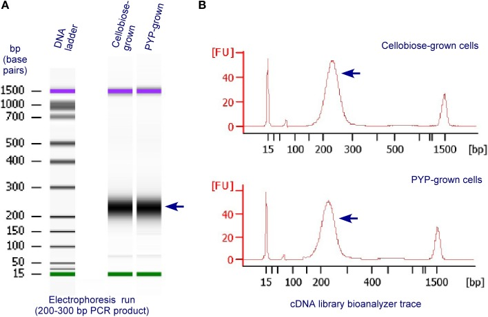 Validation and quantification of representative, final RNA-Seq cDNA libraries prior to GA II, using an Agilent 2100 Bioanalyzer and the DNA 1000 Nano Chip Kit (Agilent, Technologies, Santa Clara, CA, USA) . The RNA-Seq cDNA libraries were prepared from RNA extracted from C. thermocellum cells grown on cellobiose or PYP. (A) Electrophoresis run of the cDNA libraries by the Bioanalyzer; (B) bioanalyzer trace of cDNA libraries.