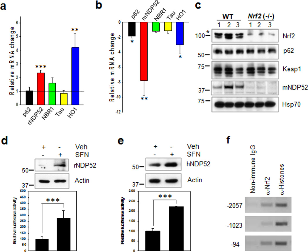 NDP52 is induced by Nrf2 activation and its expression is significantly reduced in Nrf2 (−/−) mice ( a ) Primary cortical neurons (DIV 5) were treated with sulforaphane (SFN, 10 µM) for 12 h, and the relative mRNA level of each gene was compared to that of cells not treated with SFN using qRT-PCR. ( b ) In hippocampal tissues from Nrf2 (−/−) (5 months old, 1 male; 11 months old 1 female; 5 months old, 1 female; 12 months old, 3 female) or wild-type (10 months old, 4 male; 2 female) mice, the relative mRNA level of each gene compared with that of wild-type mice. n=6. ( c ) The levels of p62/SQSTM1, Keap1, mouse NDP52 (mNDP52) and Hsp70 in Nrf2 (−/−) or wild-type mice were examined by immunoblotting. The asterisk on the Nrf2 panel indicates a non-specific band. ( d, e : upper panel) Primary cortical neurons (DIV 5) ( d ) and SH-SY5Y cells ( e ) were treated with SFN for 24 h, and the expression levels of rat and human NDP52 (rNDP52 and hNDP52) examined by immunoblotting using anti-NDP52 antibody. The relative molecular masses (kD) are indicated to the left of each blot. ( d, e : low panel) Primary cortical neurons (DIV 5) ( d ) and SH-SY5Y cells ( e ) transiently transfected with the pGL4.14/human NDP52 promoter (2,173 bps) luciferase reporter plasmid were treated with SFN for 24 h, and assayed for the luciferase activity. ( f ) SH-SY5Y cells were treated with SFN for 12 h, and cell lysates were used for the ChIP assay using anti-Nrf2 antibody as described in the Methods. Data shown are mean±SE and were analyzed using Student's t test. (*, p