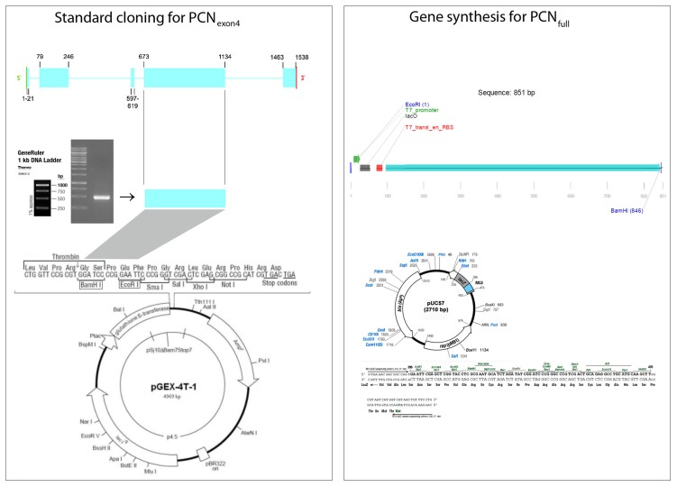 Cloning strategies for cloning the paracoccin ORF for expression. The left panel shows the standard strategy, with PCR amplification of the largest exon, restriction endonuclease digestion, and cloning into the expression vector <t>pGEX-4T-1.</t> The positions of the exons are displayed on the map of the gene. Genomic DNA template was extracted from P. brasiliensis strain Pb18. Agarose gel electrophoresis (mid-left) shows the corresponding band amplified by PCR. The exon 4 amplicon was cloned by Bam HI and Eco RI digestion. The right panel shows the strategy for synthesis of the predicted paracoccin sequence fused with the 5′-UTR elements for transcription in the vector pUC57. Green arrow, T7 promoter; black box, lacO (lac operator); and red box, the phage T7 trailer sequence for ribosome binding.