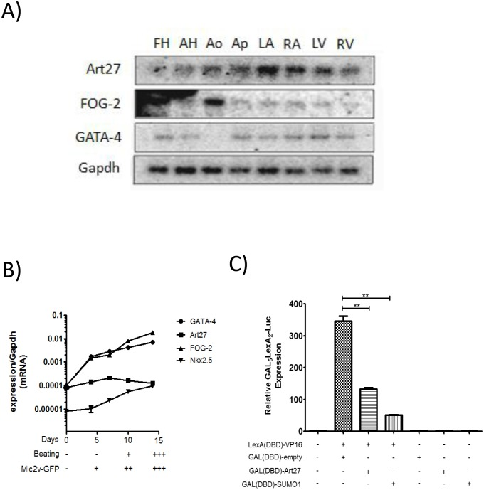 Art27 is a potential transcriptional regulator in cardiac developmental and adult tissues. ( A ) Northern blot on RNA derived from eight different heart tissues was probed for expression of GATA-4, FOG-2 and Art27. The membrane was stripped and re-blotted with the appropriate label. The housekeeping gene Gapdh was used as a loading control. Differential binding and/or absence of binding is indicative of probe specificity. ( B ) P19CL6 embryonal carcinoma cells with stably incorporated GFP under the control of the cardiac Mlc2v promoter [26] were induced to undergo cardiomyocyte differentiation with 1% DMSO. At 5-day increments, mRNA was isolated to assess relative expression of cardiac transcription factors Art27, GATA-4, FOG-2 and Nkx2.5 compared to housekeeping gene Gapdh. These time points correspond to various stages of cardiomyocyte differentiation as determined by systematic scoring of GFP fluorescence and beating intensity. ( C ) 293a cells were transfected with the various expression plasmids as indicated and GAL 5 LEXA 2 -Luc reporter activity was assessed. GAL(DBD)-Art27 significantly diminishes reporter activity compared to GAL(DBD)-empty expression plasmid alone showing inherent transcriptional repression activity. GAL(DBD)-SUMO-1 was used as positive control and was observed to repress the activity of the reporter as expected [49] **p