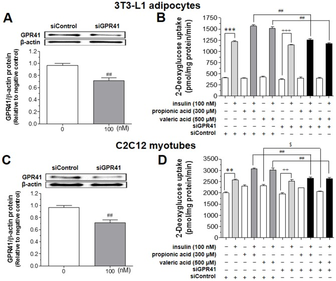 Effects of siRNA for GPR41 on SCFA-induced rise in insulin-stimulated glucose uptake in 3T3-L1 adipocytes and C2C12 myotubes. After confirming the expression of GPR41 protein expression by transfecting with siRNA for GPR41 (siGPR41,100 nM) using Lipofectamine RNAiMAX for 48 h in 3T3-L1 adipocytes (A) or C2C12 myotubes (C), cells were treated with 300 µM propionic acid or 500 µM valeric acid for 30 min in the absence or presence of insulin (100 nM) in KRPH buffer. Glucose uptake was measured in the lysates of 3T3-L1 adipocytes (B) or C2C12 myotubes (D) as described in the Methods . Results are the means ± SEM of three similar independent experiments, each performed in quadruplicate. ** P