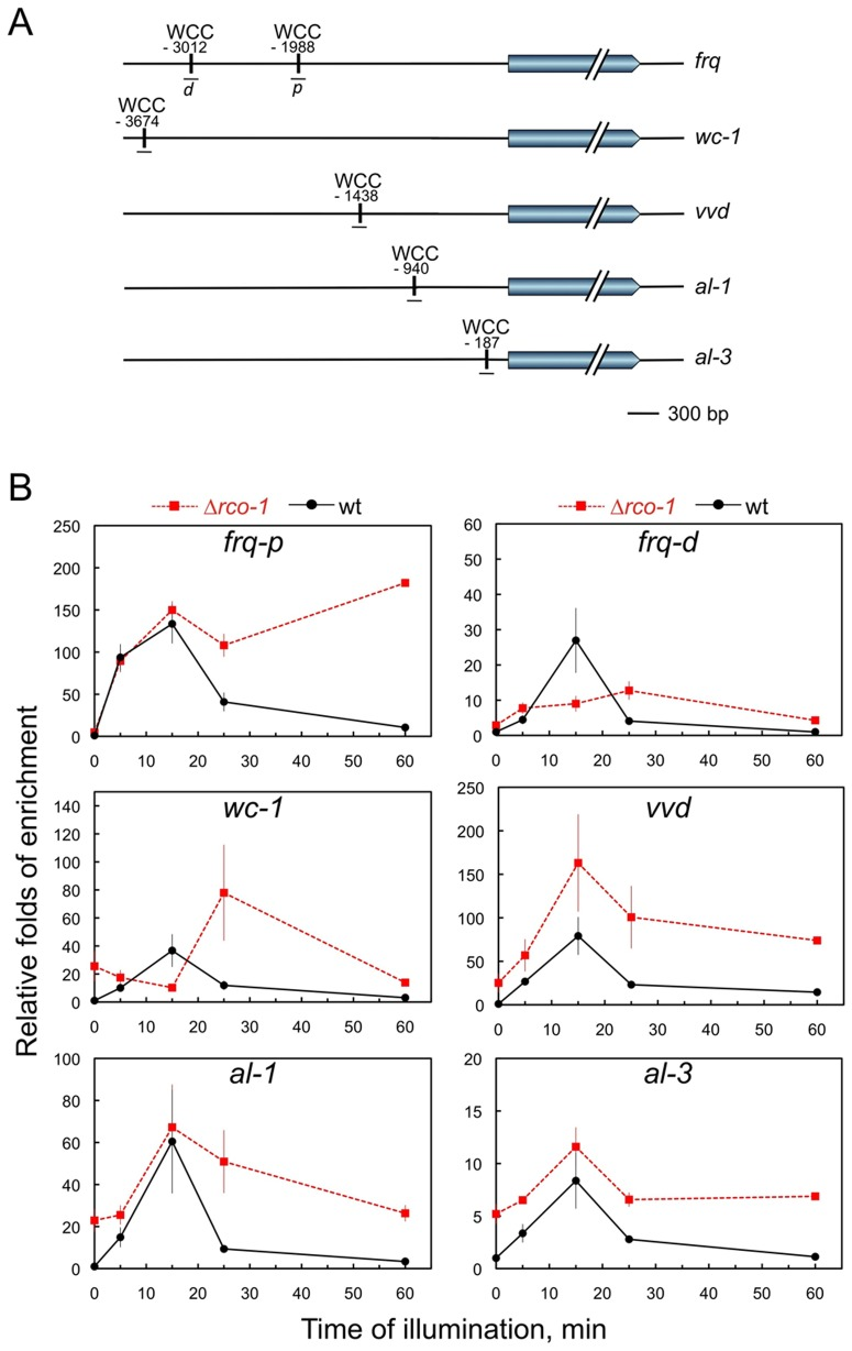The absence of RCO-1 modifies the kinetics of WCC binding to the promoters of light-regulated genes. A. WCC binding sites in the promoters of several light-regulated genes. The position of the WCC binding sites in the promoters of frq (proximal site, frq-p ; distal site, frq-d ), wc-1 , vvd , al-1 and al-3 are shown relative to the initiator ATG. B. Kinetics of WCC binding to the promoters measured by chromatin immunoprecipitation with an antibody against WC-2. Mycelia were grown for 48 hours at 30°C in the dark and then exposed for different times to light. Nuclei were extracted prior to each ChIP experiment. Quantitative PCR were performed to measure the relative accumulation of each DNA segment in immunoprecipitated samples and inputs. Each plot shows the average and standard error of the mean of DNA accumulation in three independent experiments. Results from each PCR for each gene were normalized to the corresponding PCR for 28S DNA to correct for sampling errors, and plotted relative to the amount obtained in the dark.