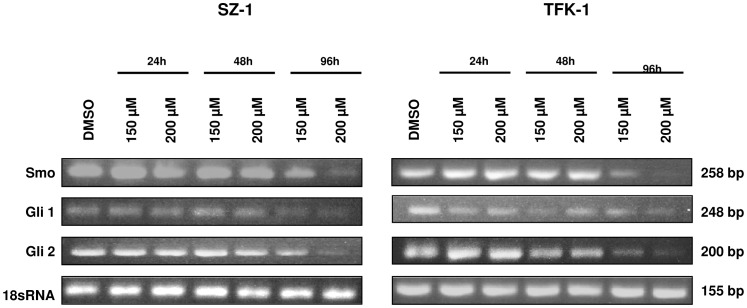 Capsaicin targets Hedgehog signaling. The expression levels of Smo, Gli1 and Gli2 were analyzed by semiquantitative RT-PCR both in SZ-1 (A) and in TFK-1 cells (B) after treatment either with control (DMSO) or capsaicin (150 µM, 200 µM) for 24 h, 48 h and 96 h. A reduction of transmembrane protein Smo was seen in both cell lines after 96 h. Capsaicin down-regulates Hedgehog targets Gli1 and Gli2 in a time-dependent manner (96 h).