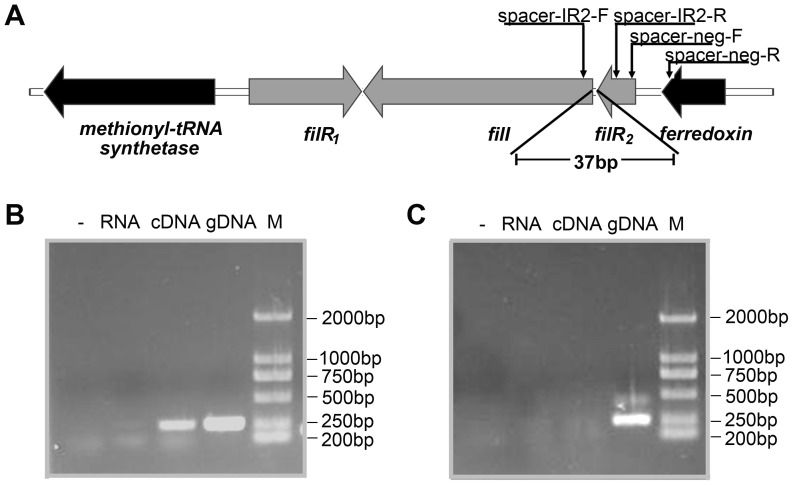 Cotranscription of filI and filR2 in M. harundinacea . (A) Schematic arrangement of filI and fliR2 in the genome. (B) Agarose gel electrophoresis of PCR products amplified from the intergenic region between filI and filR2 . (C) The intergenic spacer between filR2 and its upstream gene encoding a ferredoxin using the respective template labeled at the top of each gel: -, no DNA; RNA, total RNA extracted form M. harundinacea cells; cDNA, reverse transcripts from the total RNA; gDNA, genomic DNA of M. harundinacea . M, DL2000 marker with the sizes shown at the right. Primers spacer-IR2-R/F and spacer-gen-F/R were used for PCR reactions in (B) and (C), respectively.