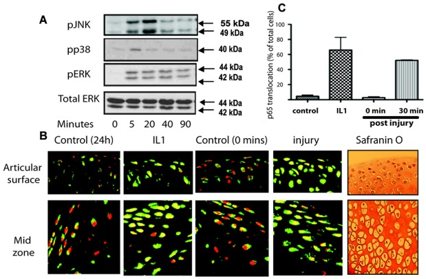 Activation of MAP kinase and NF-κB upon injury of murine cartilage. Three murine hip explants were avulsed onto dry ice (time 0) or into serum-free medium for up to 90 minutes. For some experiments, interleukin-1 (IL-1) was used as a positive control. A, Lysates were prepared and then Western blotted for phosphorylated <t>ERK,</t> <t>p38,</t> and JNK, as well as total ERK (loading control). B, Some explants were snap frozen, embedded in OCT, sectioned, and the sections were stained for visualization of p65 (a component of the NF-κB pathway) (green) and propidium iodide (for nuclei) (red). Signal was detected with fluorescence-tagged secondary antibodies and visualized with confocal microscopy. Also shown are Safranin O–stained sections taken from adjacent regions of the tissue. C, Three separate gradient images were taken from 3 different regions of the explant (superficial zone, middle zone, and epiphyseal line). The percentage of cells demonstrating translocation of p65 (nuclear signal changing from red to yellow) was expressed as a percentage of the total number of nuclei. Values are the mean ± SD. P