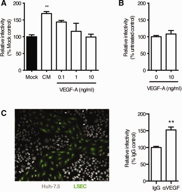 Paracrine VEGF signaling reduces HCV infection of LSEC-hepatocyte co-cultures. CM was collected from LSEC-treated with increasing concentrations of recombinant VEGF-A and screened for its effect on Huh-7.5 permissivity to support HCV JFH-1 infection. Infection was enumerated by quantifying NS5A-expressing cells and the data expressed relative to mock control (black) (A). Data are mean ±1 SD of n = 4 donor LSEC CM. Statistical comparisons were made with the Kruskal-Wallis test with Dunn's correction where ** P
