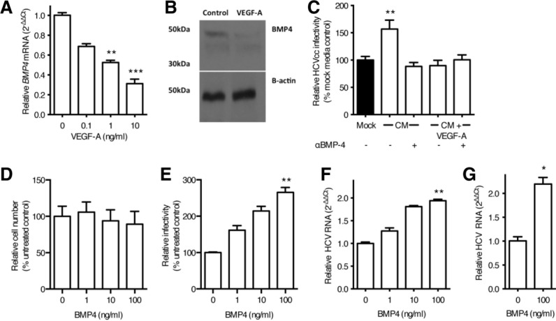 BMP4 is negatively regulated by VEGF and stimulates HCV replication. LSEC were starved of VEGF overnight and stimulated with VEGF-A as indicated for 8 hours and lysed to quantify BMP4 mRNA (A) or protein (B). Conditioned media (CM) from untreated or VEGF-A treated LSEC were incubated with a neutralizing anti-BMP4 antibody (10 μg/mL) and screened for its effect on Huh-7.5 permissivity (C). Huh-7.5 were treated with recombinant BMP4 for 48 hours and the cells assessed for their proliferative capacity (D) and permissivity to support HCV JFH-1 infection. Infection was enumerated by quantifying NS5A-expressing cells (E) or HCV RNA (F). Primary hepatocytes were treated with BMP4 (100 ng/mL) for 18 hours, inoculated with HCV JFH-1, and infection assessed by measuring HCV RNA (G). Data are mean ±1 SD of n = 4 donor LSEC. Statistical comparisons were made with the Kruskal-Wallis test with Dunn's correction (A,C,E,F), or the Mann-Whitney U test (G) and where * P
