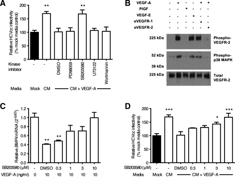 p38 MAPK activation negatively regulates BMP4 expression. LSEC were pretreated with control solvent or kinase inhibitors (all 10 μM) for 1 hour, washed, and incubated with VEGF-A (10 ng/mL) as indicated. Conditioned media (CM) was collected and used to treat Huh-7.5 cells for 18 hours prior to infecting with HCV JFH-1 (A). LSEC were incubated with anti-VEGFR neutralizing antibodies for 1 hour prior to treating with VEGF ligands for 10 minutes before lysing for immunoblotting (B). LSEC were incubated with increasing concentrations of SB203580, or solvent control, before washing and treating with VEGF-A (10 ng/mL) for 8 hours. Cellular BMP4 levels were measured by qRT-PCR (C) or CM collected and used to treat Huh-7.5 cells for 18 hours prior to infecting with HCV JFH-1 (D). Data are mean ±1 SD of n = 4 donor LSEC. Statistical comparisons were made with the Kruskal-Wallis test with Dunn's correction where * P