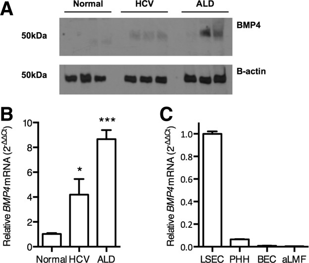 Elevated BMP4 in chronic liver disease. Liver biopsy protein lysates (30 μg) (A) or RNA (B,C) from normal, HCV-infected or alcohol-related liver disease (each n = 6) were immunoblotted for BMP4 (A) and qRT-PCR used to quantify BMP4 expression (B). Western blot depicts three representative samples and BMP4 expression is shown relative to normal samples and represents the mean value of all samples. Statistical comparison was made using the Kruskal-Wallis test with Dunn's correction where * P