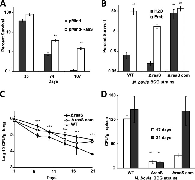Effects of raaS overexpression or deletion on survival of M. bovis BCG in nonpermissive growth conditions in vitro and in vivo . (A) Strains containing pMind or pMind- raaS were incubated in tetracycline-supplemented medium for 107 days. **, statistically different survival between pMind- raaS and pMind ( P