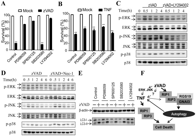Inhibition of ERK- or JNK- pathway blocks zVAD- but not TNF-induced cell death. ( A ) Inhibition of ERK- or JNK- pathway blocked zVAD-induced cell death. L929 cells were untreated or treated with ERK inhibitor PD98059 (100 µM), JNK inhibitor SP600125 (10 µM), p38 inhibitor SB203580 (10 µM), and PI3K inhibitor LY294002 (100 µM), respectively. Then the cells were treated with mock or zVAD (20 µM) for 24 h and cell viabilities were measured. ( B ) Inhibition of MAPKs does not block TNF-induced cell death. L929 cells were untreated or treated with PD98059 (100 µM), SP600125 (10 µM), p38 inhibitor SB203580 (10 µM), and LY294002 (100 µM). Then the cells were treated with mock or TNF (10 ng/ml) for 24 h and cell viabilities were measured. ( C ) zVAD had little effect on MAPKs' activation. L929 cells were treated with zVAD or zVAD+LY294002 for 0, 0.5, 1, 2, 4 h, respectively. Cell lysates were subjected to western blot analysis with antibodies against p-ERK, ERK, p-JNK, JNK, p-p38 and p38. ( D ) Inhibition of zVAD-induced cell death has no effect on MAPKs' activation. L929 cells were treated with zVAD or zVAD+Nec-1 for 0, 0.5, 1, 2, 4, 6 h, respectively. Cell lysates were subjected to western blot analysis with the indicated antibodies. ( E ) Inhibitors of MAPKs did not affect zVAD-induced LC3 modification. L929 cells were untreated or treated with PD98059 (100 µM), SP600125 (10 µM), SB203580 (10 µM), or LY294002 (100 µM). Then the cells were treated with mock or zVAD (20 µM) for 12 h and LC3 were analyzed by western blot. ( F ) Hypothetical pathway network of zVAD-induced cell death. The main pathways of zVAD-induced cell death are autophagy and autocrine of TNF. The induction of TNF by zVAD may depend on the collective effect of a number of pathways such as ERK, JNK, and autophagy. Mechanisms of zVAD-induced L929 cells could be different due to the variation of L929 sublines. **, p
