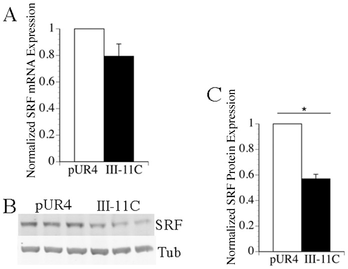 The pUR4 fibronectin inhibitor promotes elevated levels of SRF protein. mRNA or protein were isolated from cells 5 days after seeding as described in Methods . A) qRT-PCR was performed in triplicate for each sample using SYBR green chemistry as described in Methods . The data was normalized to the levels of GAPDH in each sample. Data represent the average of 4 separate experiments, and the error bars the s.e.m. The relative levels of SRF mRNA are shown; pUR4 treated samples were set equal to 1. B) Western blotting was performed using antibodies to SRF. C) SRF protein levels in 3 separate experiments were quantitated using an Odyssey Infrared Imager following normalization to the levels of tubulin in each sample. Normalized SRF levels in pUR4 treated cells were set equal to 1. The error bar represents the s.e.m. *p