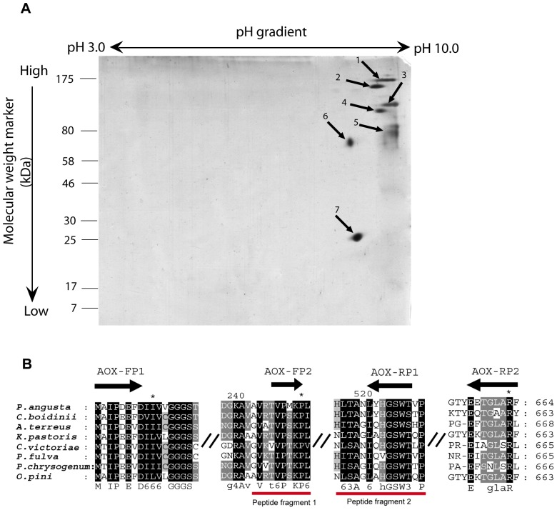 2D electrophoresis of microsomal membrane bound proteins and multiple sequence alignment of highly similar AOx proteins from filamentous fungi and yeast species showing the primers for overlapping PCR based on internal peptide fragments identified from pmf data of spot 6. ( A ). Mass spectrometry compatible silver stained 2D gel image of A.terreus MTCC6324 microsomal proteome. 150 µg of A.terreus microsomal protein having high AOx activity were resolved on 3–10 linear immobiline dry pH gradient strip as first dimension and subsequently run on 12% polyacrylamide resolving gel as second dimension. Seven spots (marked 1–7 along with arrow heads) showing the highest normalized volumes were analysed using MALDI-TOF-MS. ( B ). Internal peptide fragment 1 (GVATVPSKP) and fragment 2(NHITAGIQHGWSHP) shown in red bars, served as templates for designing overlapping PCR primers mapped as AOX-FP2 and AOX-RP1, respectively as an approach for characterizing full length AOx coding region. The gene identification numbers (GI) for the aligned amino acid sequences of AOxs are as follows: P.angusta (GI:113652); C.boidinii (GI:231528); A.terreus NIH2624 (GI:115437438); K.pastoris (GI: 2104963); C. Victoriae (GI: 13182929); P.fulva (GI: 9082281); P.chrysogenum (GI: 18028450). Sequences were aligned using CLUSTALW2 and viewed using GeneDock software. Forward and reverse primers are shown as black arrows with primer names mentioned above. Symbol ( // ) represents discontinuity in multiple sequence alignment. Highly conserved amino acid blocks are shaded in black.