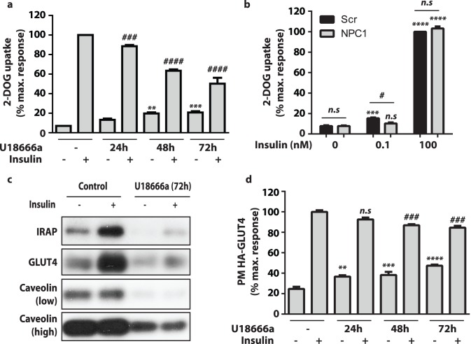Inhibition of NPC1 repressed insulin-stimulated glucose uptake. ( a ) 3T3-L1 adipocytes were treated with U18666a for indicated periods of time before radiolabelled 2-deoxy-D-glucose uptake assays were performed on basal and insulin-stimulated cells. Data are mean ±S.E.M, n = 4 independent experiments. ( b ) 3T3-L1 adipocytes electroporated with scrambled (Scr) or siRNA directed to NPC1 (NPC1) were subjected to radiolabelled 2-deoxy-D-glucose uptake assays under basal and insulin-stimulated conditions. Insulin doses as indicated. Data are mean ±S.E.M, n = 3 independent experiments. ( c ) Plasma membrane (PM) levels of IRAP, GLUT4 and Caveolin 1 in unstimulated and insulin-stimulated (100 nM, 20 min) adipocytes were determined by immunoblotting. ( d ) PM levels of HA-GLUT4 was measured using a fluorescence based assay in 3T3-L1 adipocytes overexpressing HA-GLUT4 treated with U18666a for indicated periods of time. Data are mean ±S.E.M, n = 3 independent experiments. Significance calculated by two-way ANOVA. Comparisons to unstimulated cells (a, b, d) indicated by n.s = non-significant, * = p