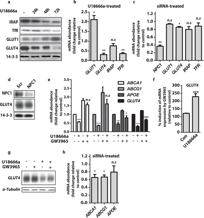 Inhibition of NPC1 reduced GLUT4 expression via lower LXR activity. ( a ) Total protein levels of IRAP, Transferrin, GLUT1 and GLUT4 were determined by immunoblotting of whole cell lysates from cells with U18666a for indicated times. ( b ) GLUT1, GLUT4, IRAP, and TFR mRNA levels in 3T3-L1 adipocytes treated with U18666a for 72 h were determined by qPCR and presented relative to expression in control cells. Data are mean ±S.E.M, n = 3–5 independent experiments. ( c ) NPC1, GLUT1, GLUT4, IRAP and TFR mRNA levels in 3T3-L1 adipocytes treated with NPC1 siRNA were determined by qPCR and presented relative to expression in control cells. Data are mean ±S.E.M, n = 3 independent experiments. ( d ) Total protein levels of NPC1 and GLUT4 were determined by immunoblotting of whole cell lysates from control and NPC1 knockdown cells. ( e ) mRNA levels of ABCA1 , ABCG1 and APO-E and GLUT4 were determined by qPCR. Control and U18666a (72 h) pre-treated adipocytes were treated with the LXR agonist GW3965 (10 µM) for 16 h. Data are mean ±S.E.M and expressed relative to mRNA levels for each gene in control cells. All data are n = 3–5 independent experiments . ( f ) Percentage change in GLUT4 mRNA levels following GW3095 addition was calculated from (f). ( g ) Total GLUT4 protein levels were determined by immunoblotting of whole cell lysates from control cells and cells treated with U18666a and/or GW3095 as indicated. ( h ) ABCA1, ABCG1 and APOE mRNA levels in 3T3-L1 adipocytes treated with NPC1 siRNA were determined by qPCR and presented relative to expression in control cells. Data are mean ±S.E.M, n = 3 independent experiments. Significance calculated by two sample t-test (b,c,f,h) or two-way ANOVA (e) and indicated p values are compared to control cells n.s = non-significant, * = p