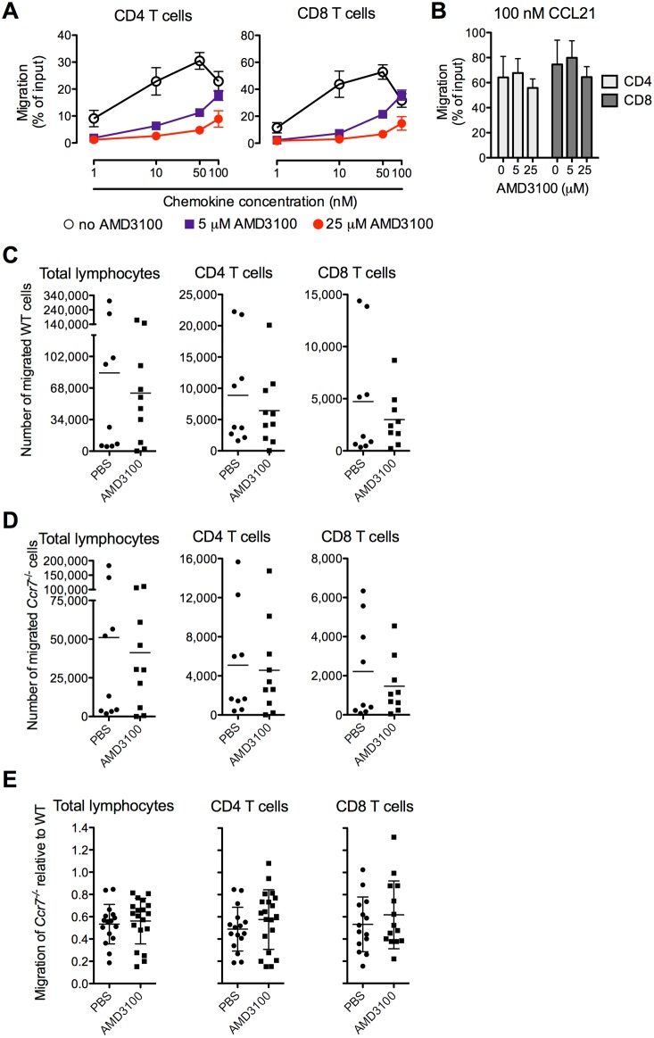 Pharmacological inhibition of CXCR4 does not impact the tissue exit of wildtype or Ccr7 −/− T cells. ( A–B ) Chemotaxis of mouse splenocytes was tested toward mouse CXCL12 ( A ) and CCL21 ( B ) in a Transwell chemotaxis assay in the presence or absence of CXCR4 inhibitor <t>AMD3100</t> at indicated concentrations. Data represent mean ±SD of triplicate wells. One of two similar experiments is shown. ( C–E ) Mice carrying 3-week-old skin granulomas in the footpads were systemically treated with either <t>PBS</t> or 1000 µg/kg/h AMD3100 through subcutaneously implanted mini osmotic pumps. 12 h after implantation, a mixture of fluorescently labeled Ccr7 −/− and wildtype splenocytes were transferred into the inflamed footpads. The numbers and phenotypes of cells that egressed from the skin and entered the draining lymph node were determined by flow cytometry 12 h after transfer. The numbers of wildtype ( C ) and Ccr7 −/− ( D ) lymphocyte subsets that migrated to the draining lymph nodes are shown. Data points represent individually analyzed mice of groups of 7–10 recipient mice per group; horizontal lines indicate the mean of each group. One of two experiments with similar results ( C and D ) or both experiments combined ( E ) are shown. WT, wildtype.