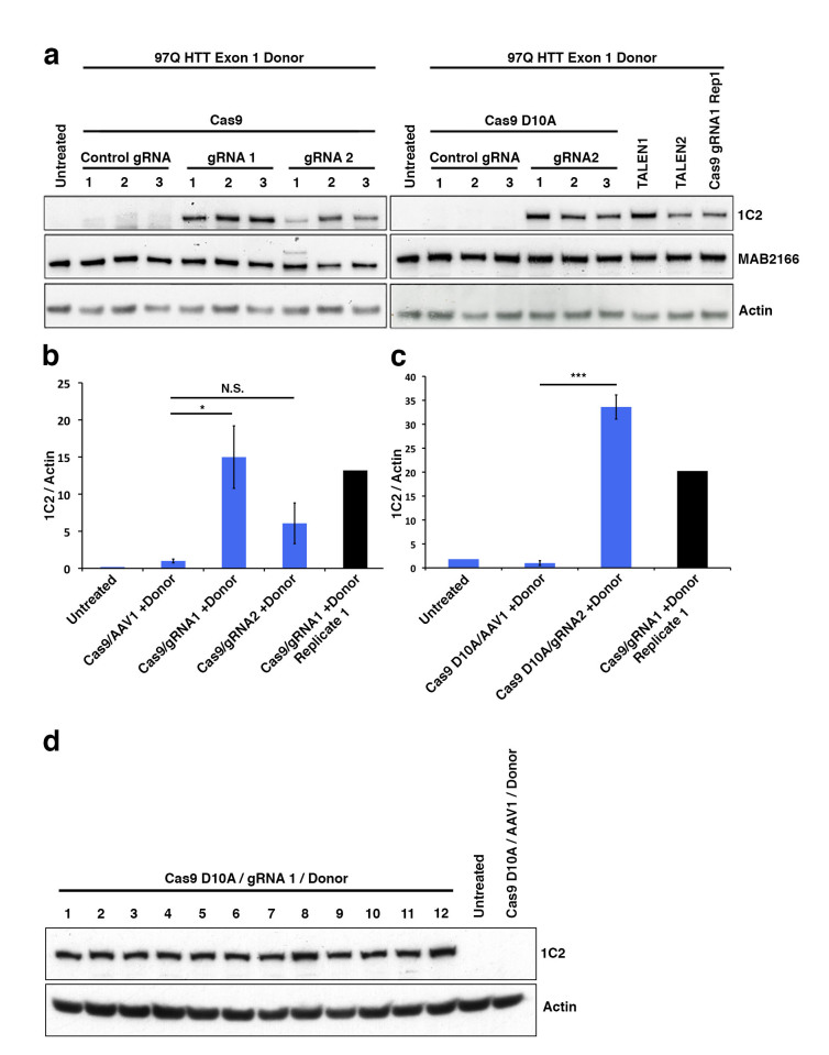 (a) To identify 1C2-reactive full-length HTT protein indicative of homologous recombination a western blot assay was utilized. Total HTT (MAB2166) and β-actin are also shown. (b) Quantitated levels of 1C2 signal normalized to β-actin are significantly increased in cells treated with WT Cas9 and HTT specific gRNAs realtive to cells treated with a gRNA targeting a different (AAVS1) locus in the genome. (c) Cas9 D10A show significant increase in HTT gRNA2-mediated recombination relative to control, AAVS1 gRNA assisted cells. (d) 1C2 western blot analysis of individual clones (1-12) transfected with Cas9 D10A, HTT gRNA1, and donor compared with control gRNA and untransfected controls.