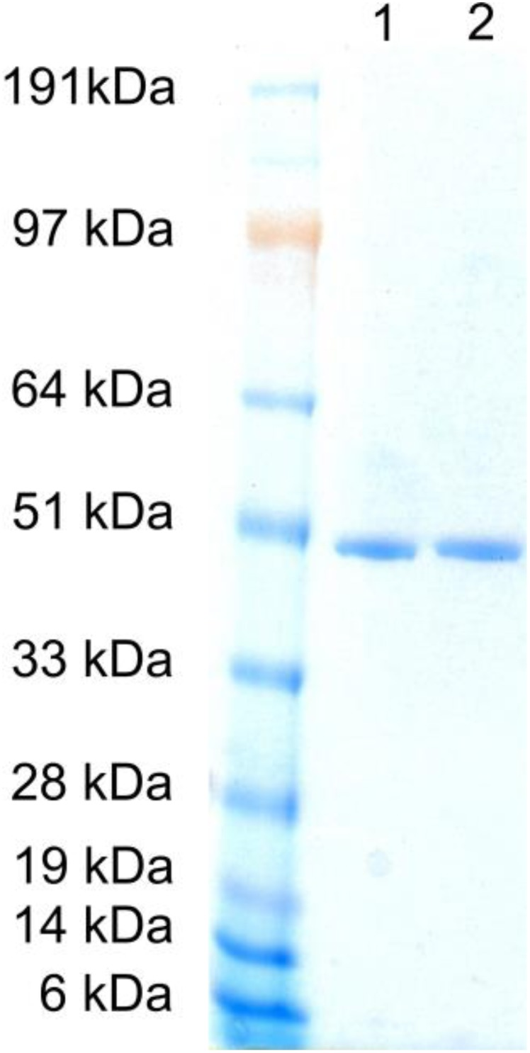 <t>SDS-PAGE</t> of purified S. mutans NADH oxidase 2 . Standard: SeeBlue ® Plus2 Prestained Protein Standard; lane 1: wild-type; lane 2: 193R194H, SDS-PAGE was performed with an Invitrogen NuPAGE ® system with a 4-12% <t>Bis-Tris</t> Gel and Coomassie staining