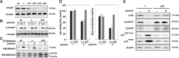 Knockdown of Smad4 blocks the anti-proliferative effect of activin A in LE6 cells. (A) SMAD4 expression was determined by western-blot in LE6 cells after Smad4 knockdown (sh1, 2, 3, 4), and compared with control cells (wt) and vehicle cells (V). (B and C) Control cells, vehicle and Smad4 knockdown LE6 cells (LE6- Smad4 KD) were treated with or without 200 ng/ml activin A. Phosphorylated SMAD2 was detected by western-blot (B) and SMAD2/3/4 complex formation was detected by co-immuno precipitation (C) . (D) sh Smad4 -LE6 cells were treated with or without 200 ng/ml activin A and their proliferation assessed by CCK-8 and BrdU incorporation assay. c: control, v: vehicle, sh3: LE6-smad4KD. (E) Indicated cells were treated with or without 200 ng/ml activin A, phosphorylated Rb, cyclinD1, cyclinE , p21 WAF1/Cip1 and p15 INK4B were analyzed by western blotting.