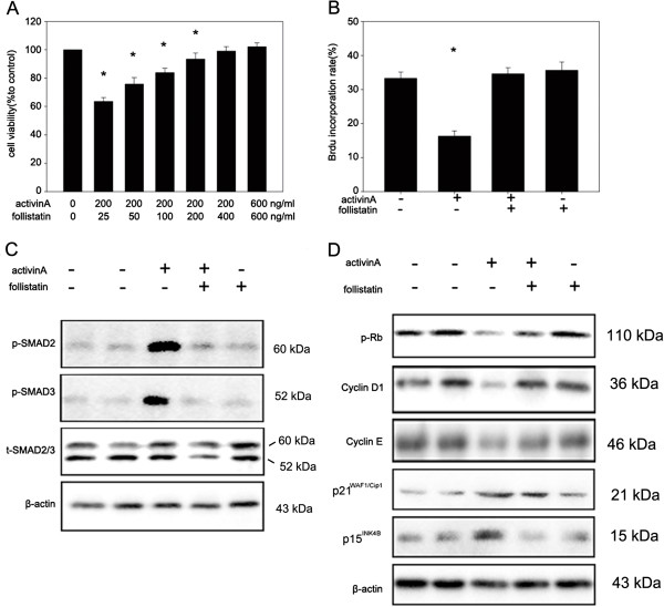 Follistatin blocks the growth arrest induced by <t>activin</t> A in LE6 cells. (A) LE6 cells were treated with activin A (200 ng/ml) in the presence or absence of the indicated doses of follistatin (25, 50, 100, 200, 400, 600 ng/ml). Cell proliferation was detected by CCK-8 assay. (B) LE6 cells were grown in LE media in the presence or absence of activin A (200 ng/ml), follistatin (400 ng/ml) or activin A (200 ng/ml) plus follistatin (400 ng/ml). DNA synthesis was detected by BrdU incorporation assay using FACS. (C) LE6 cells were treated with or without activin A (200 ng/ml), follistatin (400 ng/ml) or activin A (200 ng/ml) plus follistatin (400 ng/ml) for 30 min. Phosphorylated SMAD2/3 was detected by western-blot. (D) LE6 cells were treated with either media alone, activin A (200 ng/ml), follistatin (400 ng/ml) or activin(200 ng/ml) plus follistatin (400 ng/ml). Then phosphorylated Rb, cyclinD1, cyclinE, p21 WAF1/Cip1 and p15 INK4B were analyzed by western-blot.