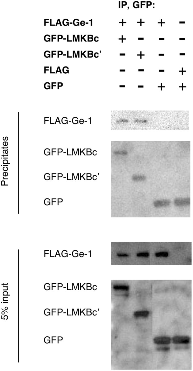 Ge-1 co-precipitates with C-terminal fragments of LMKB. COS-7 cells were transfected with plasmids encoding FLAG-Ge-1, GFP-LMKBc (containing amino acids 1457–1742), GFP-LMKBc' (amino acids 1622–1742), FLAG and GFP as indicated. Extracts were prepared and incubated with mouse anti-GFP antibody and protein G coupled to Sepharose beads. Precipitates (top two panels) are compared with 5% of the total COS-7 cell extract input (bottom two panels). FLAG-Ge-1 co-precipitated with GFP-LMKBc(1457–1742) and with GFP-LMKBc'(1622–1742), but not with GFP alone.