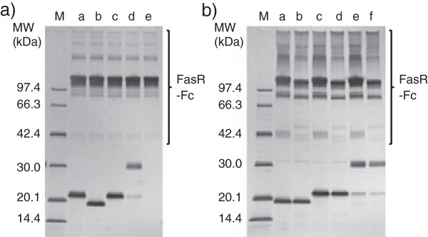 """SDS-PAGE analysis of hFasRECD-T-Fc mediated co-immunoprecipitation of the purified hFasLECDs. a) Co-immunoprecipitation using wild-type hFasRECD-T-Fc [ 15 ]. Lanes: M, molecular-weight size-markers; a, NFG5-hFasLECD [ 10 ]; b, tag-free hFasLECD; c, N -Ethylmaleimide adduct of NFG1CG4-hFasLECD, d, SUNBRIGHT® ME-050MA adduct of NFG1CG4-hFasLECD; e, buffer alone. The bands in """"FasR-Fc"""" labeled region were derived from wild-type hFasRECD-T-Fc sample. b) Comparison between wild-type hFasRECD-T-Fc (lanes a, c and e) and hFasRECD-T-Fc (N102Q, N120Q) mutant (lanes b, d and f). Lanes: M, molecular-weight size-markers; a and b, tag-free hFasLECD; c and d, N -Ethylmaleimide adduct of NFG1CG4-hFasLECD; e and f, SUNBRIGHT® ME-050MA adduct of NFG1CG4-hFasLECD. The bands in """"FasR-Fc"""" labeled region were derived from hFasRECD-T-Fc samples."""