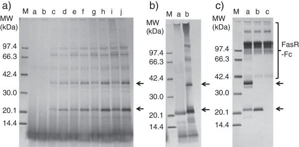 """SDS-PAGE analysis of secretory expression of NFG1CG4-hFasLECD. a) Comparison of the expression level using glass baffled-flask with that using plastic culture-bag. Lanes: M, molecular-weight size-markers; a and b, at 0 h; c and d, at 24 h; e and f, at 48 h; g and h, at 72 h; i and j, at 96 h. Five μl each samples of culture supernatants either from 500 ml scale culture in 3000 ml baffled flask (lanes a, c, e, g and i) or 2500 ml scale culture in 5000 ml disposable plastic bag (lanes b, d, f, h and j) were applied to each lane. Upper and lower arrows indicate the migration positions of dimeric and monomeric subunits of NFG1CG4-hFasLECD, respectively. b) SDS-PAGE analysis of disulfide bond reduction in partially purified NFG1CG4-hFasLECD. Main peak fraction of the P. pastoris culture supernatant (29.5°C, 96 h) in 1st cation-exchange column chromatography was concentrated and treated with SDS-PAGE sample buffers with / without 2-mercaptoethanol. Lanes: M, molecular-weight size markers; a, with 2-mercaptoethanol; b, without 2-mercaptoethanol. Upper and lower arrows indicate the same as in a) . c) Co-immunoprecipitation of the secreted product with wild-type hFasRECD-T-Fc. Lanes: M, molecular-weight size-markers; a, 5 μl culture supernatant of 40-fold concentrated NFG1CG4-hFasLECD from 500 ml scale culture in 3000 ml baffled flask at 96 h; b, purified NFG5-hFasLECD [ 10 ] (5 μg); c, buffer alone. Upper and lower arrows indicate the same as in a) . The bands in """"FasR-Fc"""" labeled region were derived from wild-type hFasRECD-T-Fc sample."""