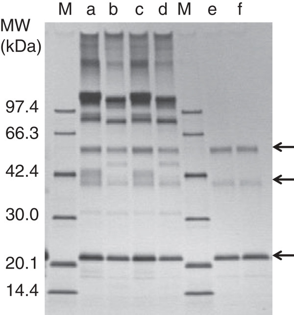 SDS-PAGE analysis of hFasRECD-T-Fc mediated co-immunoprecipitation of the fractionated hFasLECDs cross-linked with SUNBRIGHT ® DE-100MA. Either wild-type hFasRECD-T-Fc (lanes a and c) or hFasRECD-T-Fc (N102Q, N120Q) mutant (lanes b and d) was used for the experiment. Lanes: M, molecular-weight size markers; a and b, peak II (co-immunoprecipitated sample); c and d, peak III (co-immunoprecipitated sample); e, peak II (fractionated sample, 0.3 μg); f, peak III (fractionated sample, 0.3 μg). The components in the peaks II and III are arrowed.
