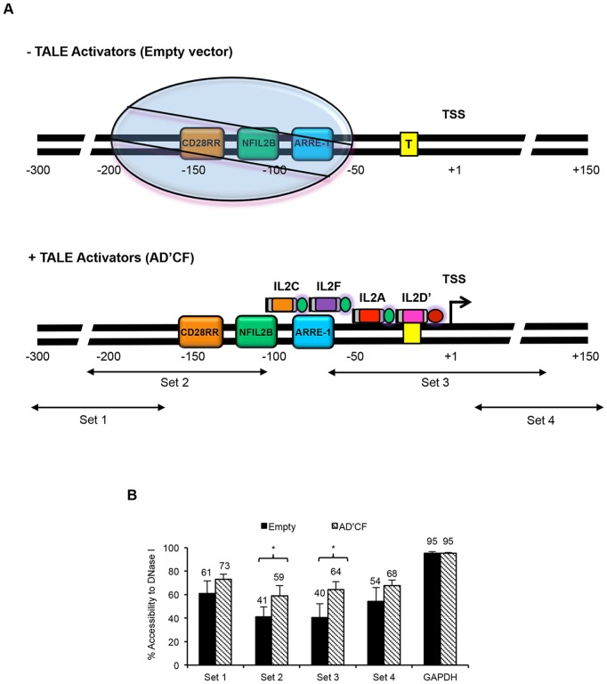 TALEs facilitate displacement of a positioned nucleosome on the IL-2 promoter. (A) Proposed TALE mechanism upon binding to the IL-2 promoter (not drawn to scale). Top panel is an illustration of the proposed chromatin structure of the IL-2 promoter in the absence of TALE activators. The approximate location of response elements adapted from previously published data [31] . Circle represents a positioned nucleosome located approximately 60 to 200 bp upstream of the TSS [31] . Boxed enclosed 'T' represents the TATA box. Bottom panel indicates location of TALE activators relative to TSS and proposed mechanism of action on the IL-2 promoter. IL-2 specific primers were used to probe various regions across the IL-2 promoter. Arrows indicate the approximate location of each region amplified by their corresponding primer set. All TALE activators were fused to VP64 (activation domain colored green) with the exception of IL2D', which was fused to TBP (activation domain colored red). (B) Results of chromatin analysis using CHART-PCR. Percent accessibility was calculated as described in Methods and plotted for both empty vector control (black bars) and TALE activators (shaded bars). GAPDH used as internal control to monitor DNase I digestion. Results shown are of three independent experiments (error bars, mean +/− SD, n = 3). Statistical analysis was determined using one tailed, Welch's t -test (P