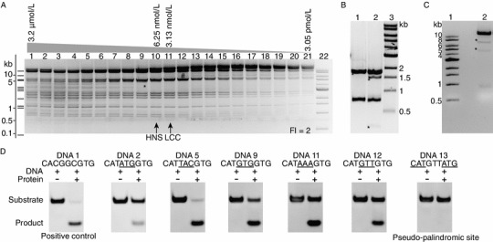 "Determination of Dra III Fidelity Index (FI) and star sites . (A) Determination of Dra III Fidelity Index (FI). λ DNA (1.6 nmol/L; 16 nmol/L CACNNNGTG sites) is digested by Dra III in a series of two fold dilutions. Dra III concentration: Lane 1, 3.2 μmol/L; Lane 10, 6.25 nmol/L; Lane 11, 3.125 nmol/L; Lane 21, 3.05 pmol/L; Lane 22, 1-kb DNA Ladder (NEB). The vertical arrows indicate the two critical points: HNS —the H ighest REases concentration showing N o S tar activity and LCC —the L owest REase concentration needed for C omplete C leavage on canonical sites. FI = HNS/LCC, which is 2 in this case. Asterisk represents a star band, and the hash represents a band that resulted from partial cleavage of λ DNA. The theoretical digestion pattern of Dra III to λ DNA was predicted using NEBcutter (Vincze et al., 2003 ) and was shown on the left. (B) Dra III star site in pUC19 was predicted to be the CATGTTGTG site. Lane 1: Bam HI (cut at nt 417) and Xmn I (cut at nt 2298) double digestion on pUC19 generated the 1.9-kb and 0.8-kb bands. Lane 2: Bam HI, Xmn I and Dra III triple digestion on pUC19. Asterisk indicates the star band. According to the approximate size of star bands, the CATGTTGTG site (nt 2033) was hypothesized to be the Dra III star site. Cleavage on predicted CATGTTGTG site generated the 1.6-kb and 0.3-kb star bands. Lane 3: 1-kb DNA Ladder. (C) Dra III star activity cleaves the CATGTTGTG site in pXba. Lane 1: 1-kb DNA Ladder. Lane 2: pXba was digested by Dra III. Asterisk indicates the star bands. Dra III star activity generates the expected 6.5-kb and 4.5-kb star bands on pXba. (D) Dra III star activity shows selectivity to the central ""NNN"" part of CATNNNGTG site. There are 11 CATNNNGTG sites in pXba and the sequences containing these sites were tested independently on oligonucleotide duplex DNAs carrying each of the sites (Table S1). The canonical CACGGCGTG site was used as positive control. Dra III shows cleavage activity to CATATGGTG, CATTACGTG, CATGTGGTG, CATAAAGTG and CATGTTGTG sites. Dra III did not cut the pseudo-palindromic CATGTTATG site"