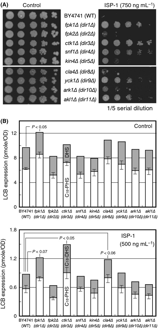 Identification of DIR genes. (A) ISP-1 resistance profiling of the DIR genes. Kinase-knockout ( DIR ) cells and control BY4741 (WT) cells were assessed for ISP-1 resistance on YPD-ISP-1 (750 ng mL −1 ) plates. The yeast culture was diluted serially as indicated and incubated at 30°C for 3 days. Plate images were acquired using the Printgraph camera system (ATTO, Tokyo, Japan). (B) LCB profiles of DIR cells. The LCB profiles of the DIR strains were determined in <t>HPLC-based</t> assays, as described in Experimental Procedures. The cellular levels of <t>C18-PHS</t> (white box) and C18-DHS (gray box) are expressed as incremented columns for each strain cultured in YPD medium (top). The LCB levels after 3 h of treatment with 500 ng mL −1 ISP-1 are also plotted (bottom). Each value shown is the mean of three independent experiments, and the standard deviation of error (SDE) for each experiment is indicated as a bar. Statistically significance differences compared to the WT control were evaluated using Student's t test and are shown when P