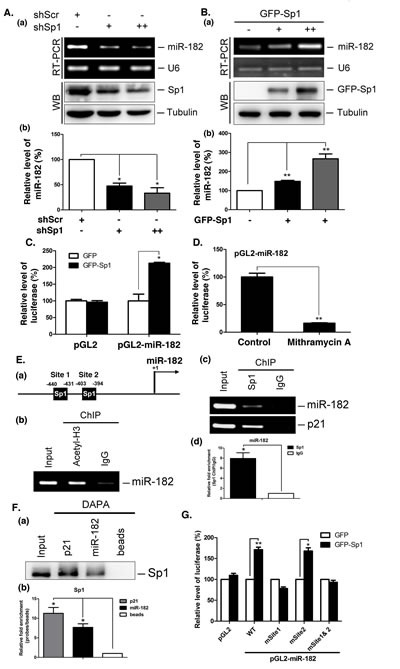 Sp1 regulates miR-182 expression (A) Scramble (shScr) and different doses of Sp1 shRNAs (shSp1) were transfected into A549 for 48 h. The miR-182 level was determined by stem-loop RT-PCR. U6 served as the internal control (panel a). Data were quantified after three independent experiments (panel b). (B) Different titer of adeno-GFP-Sp1 virus was infected IMR-90 cells for 48 h. The miR-182 level was determined by stem-loop RT-PCR (panel a). Data were quantified after three independent experiments (panel b). (C) Plasmids, pGL2 or pGL2-miR-182 (-1000/+50), and GFP or GFP-Sp1 were co-transfected into H1299 cells for 24h. Cells were harvested to study the luciferase activity. Data were quantified after three independent experiments. (D) The plasmids, pGL2 or pGL2-miR-182, were transfected into H1299 cells with mithramycin A treatment for 24 h. Cells were harvested for luciferase activity assays. (E) Schematic diagram indicates the location of putative Sp1 binding sites on miR-182 promoter region (panel a). ChIP assays were performed with anti-acetyl-H3 (panel b), and anti-Sp1 antibodies (panel c). DNA was extracted for PCR with miR-182 and p21 primers. Data were quantified after three independent experiments (panel d). (F) A549 cells were harvested for DAPA with a biotin-conjugated p21 and miR-182 promoter probes, and samples were analyzed by Western blotting using anti-Sp1 antibodies (panel a). Data were quantified after three independent experiments (panel b). (G) Plasmids, GFP or GFP-Sp1, were co-transfected with pGL2, pGL2-miR-182 WT or mutation plasmids into H1299 cells for 24 h, and then cells were harvested for luciferase activity assays. Data are representative of three independent experiments, each of which was performed in triplicate, and presented as the mean ± SEM. The level of statistical significance determined by t -test (*, p