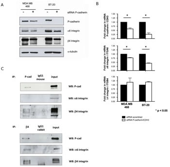 P-cadherin controls the expression of α6β4 integrin heterodimer in basal-like breast cancer cell lines Transient inhibition of the P-cadherin/CDH3 gene in MDA-MB-468 and BT-20 cells leads to a decrease in the expression of α6 and β4 integrin subunits, measured by western blot (A); the mRNA level of α6 integrin/ITGA6 is decreased upon P-cadherin silencing, whereas β4 integrin/ITGB4 mRNA level is unaffected (B); Co-immunoprecipitation experiments show that P-cadherin directly interacts with the β4 integrin subunit, but not with the α6 integrin subunit in these cells (the BT-20 cell line is represented).