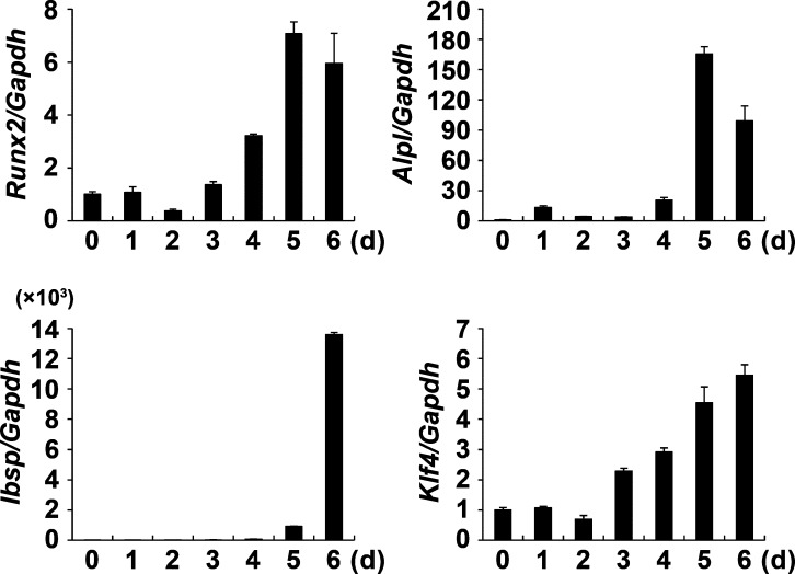 Expression of KLF4 during osteoblast differentiation. Osteoblasts were cultured with osteogenic medium containing BMP2 (100 ng/ml), ascorbic acid (50 µg/ml), and β-glycerophosphate (100 mM) for the indicated times. Quantitative real-time PCR was performed for the mRNA expression of Runx2 , Alpl (AP), Ibsp (BSP), and Klf4 . Data represent means ± SD of triplicate samples.