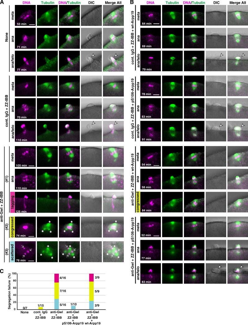 Chromosome segregation in meiosis I is abortive in Gwl-inhibited oocytes. (A and B) Immature starfish oocytes were first injected with HiLyte 488–labeled tubulin (green) and Alexa 568–labeled <t>histone</t> H1 (magenta), and then injected with neutralizing anti-Gwl antibody (anti-Gwl) or control IgG (cont. IgG) along with ZZ-IBB (that can deliver cytoplasmically injected IgG into the nucleus) or uninjected (None). After 1-MeAde addition, live-cell images were obtained using a confocal microscope to monitor formation of the meiosis I spindle. Gwl-inhibited oocytes failed to properly segregate homologous chromosomes (A). This phenotype may be classified into three types, although they overlapped in some cases: lagging (#1, magenta), congressed (#2, yellow), or scattered (#3, blue) chromosomes along with frequently multipolar spindles (asterisks). However, further coinjection into immature oocytes with Arpp19 that had been in vitro thiophosphorylated by Gwl (pS106-Arpp19), but not with wild-type Arpp19 (wt-Arpp19), restored homologous chromosome segregation (B). Time after 1-MeAde addition is indicated in each frame. Arrow, chromosomes; arrowhead, the first polar body. Bars, 5 µm. (C) Quantification of chromosome segregation failure displayed in A and B. Each color corresponds to #1, #2, and #3 in A and B, respectively. Numbers of independent experiments (more than three females) are indicated at each bar.