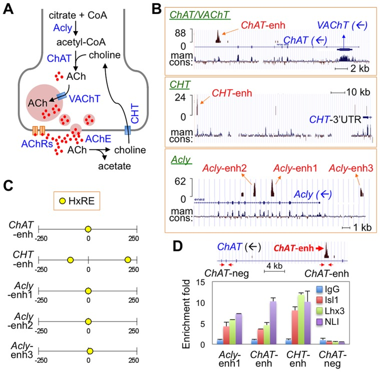 ChIP-seq assays revealed Isl-Lhx3-hexamer-binding sites in a cholinergic gene battery. ( A ) Schematic representation of cholinergic neurotransmission system. Acly, ATP-citrate lyase; CoA, coenzyme A; ChAT, choline acetyltransferase; ACh, acetylcholine; VAChT, vesicular acetylcholine transporter; AChE, Acetylcholine esterase; CHT, high affinity choline transporter; AChRs, Acetylcholine receptors. ( B ) ChIP-seq tag profile of the genomic region surrounding a battery of cholinergic genes ChAT/VAChT , CHT , and Acly loci. Each cholinergic gene is indicated, and the blue arrows represent the direction of transcription. Mam cons., mammalian conservation. The ChIP-seq data was deposited in the GEO database (assession no. GSE50993) [20] . ( C ) Schematic representation of the location of the HxRE motifs in each of the 500 bp-long cholinergic gene peaks. The number shows the relative position within the peak (0, the center position of each peak). ( D ) In vivo ChIP assays in dissected E12.5 embryonic spinal cords to monitor the binding of the <t>Isl1-Lhx3-hexamer</t> to the cholinergic enhancers. Schematic representation of the ChAT gene is shown on the top. The arrows indicate two sets of primers detecting ChAT -enhancer ( ChAT -enh) and a negative control region lacking the Isl1-Lhx3-binding peak ( ChAT -neg). Isl1, Lhx3, and NLI were recruited to the cholinergic enhancers in embryonic spinal cords. Error bars indicate standard deviation.