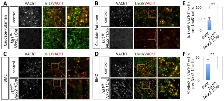 Isl1 is required for the formation of striatal cholinergic interneurons in the developing forebrain. Immunohistochemical analyses on the CPu (A, B) and BMC (C, D) of E16.5 Isl1 f/f ;Nkx2.1Cre and littermate control embryos. VAChT + cholinergic interneurons in the CPu failed to form in the MGE-specific Isl1 -null embryos. (E, F) Quantification of the number of Lhx8 + VAChT + (E) or Nkx2.1 + VAChT + cells in the CPu of E16.5 control and Isl1 mutant embryos. Histogram shows average ± standard deviation. ** p